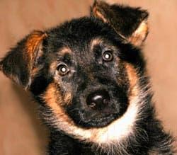 щенок немецкой овчарки, фото, фотография