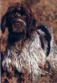 Гриффон кортальса, фото фотография, породы собак