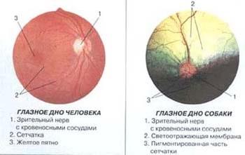 Глазное дно человека. Глазное дно собаки. рисунок
