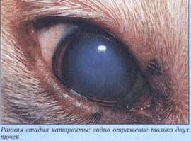 Офтальмология стареющих собак. фотография фотография