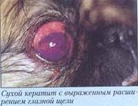 Офтальмология стареющих собак. фотография фото