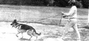 немецкая овчарка, фото