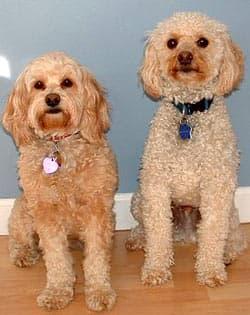 Кокер-пудель, кокапу, фото, породы собаки фотография