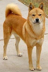 Корейская собака хиндо, фото, фотография