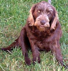 Лабрадудл, или лабропудель, фото, фотография собаки породы собак
