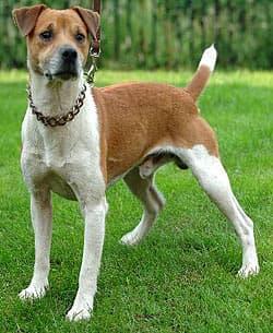 Терьер Плуммера, фото, фотография, породы собак
