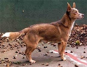 кан гуичо, куискуело, породы собак, фото, фотография с http://www.uco.es/