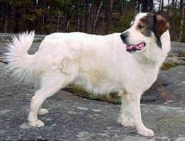 Каракачанская собака, породы собак, фото, фотография
