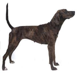 плоттхаунд, плотт-хаунд, породы собак, фото, фотография с http://www.dkimages.com/