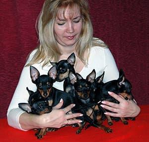 пражский крысарик, крысаржик, ратлик, пражская серночка, породы собак, фото фотография