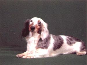 Длинношерстная такса, фото фотография, породы собак