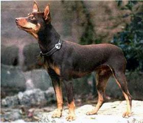 перро ратеро Мальоркин, породы собак, фото фотография