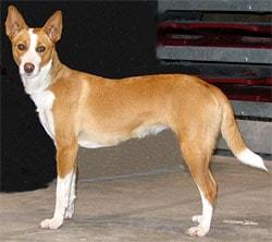 большой португальский поденгу, породы собак, фото фотография c http://www.dogsindepth.com/hound_dog_breeds/images/portuguese_podengo_h04.jpg