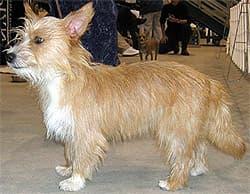 малый португальский поденгу, породы собак, фото фотография c http://www.dogsindepth.com/hound_dog_breeds/images/portuguese_podengo_h05.jpg