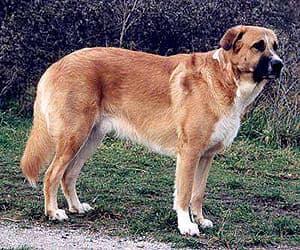 Рафейру ду Алентежу, породы собак, фото фотография