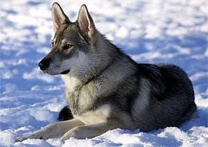 Тамасканская собака, фото фотография, породы собак