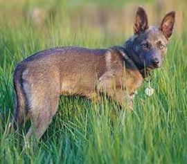 Американская индейская собака, породы собак, фото фотография