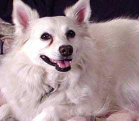 Американская орлиная собака, породы собак, фото фотография