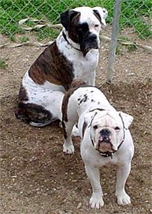 Вэлли бульдог (валлей бульдог), породы собак, фото фотография c