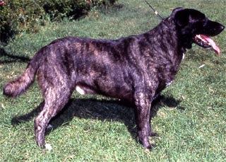 Мажореро Канарио, породы собак, фото фотография c