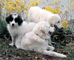 Мукучиес, породы собак, фото фотография c