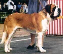 Сенбернар, фото, фотография, породы собак