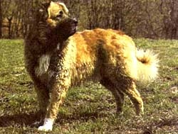 Кавказская овчарка, фото, овчарка кавказская, фотография