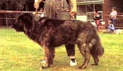 Кавказская овчарка, фотография, овчарка кавказская