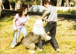 Бобтейл, староанглийская овчарка, фото фотография