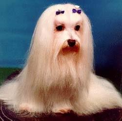 Кормление мальтеза (мальтийской болонки), фото фотография, собаки