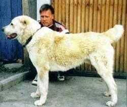 Среднеазиатская овчарка, САО, фото, фотография