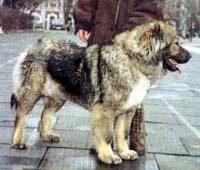 Кавказская овчарка, кавказец, фото, фотография