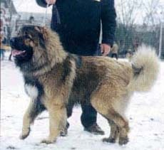 Кавказская овчарка, фотография, фото
