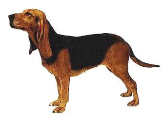 Швейцарская юрская гончая, бруно-де-юра, фото фотография c http://dogdetails.files.wordpress.com/2009/10/89-bruno-jura-hound-dog.jpg