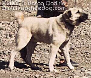 саге коче - пустынный тип, породы собак, фото фотография c