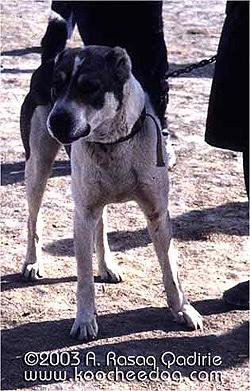 саге коче - степной тип, породы собак, фото фотография c