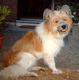 Эло, породы собак, фото фотография