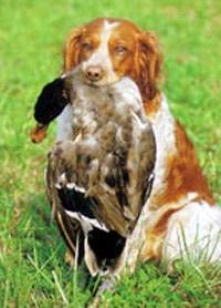 Эпаньоль дю Ларзак, породы собак, фото фотография c
