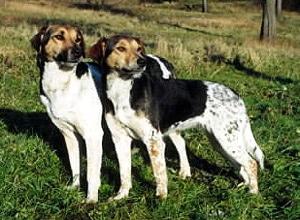 Чешская пестрая собака (лабораторная собака Хорака), породы собак, фото фотография c