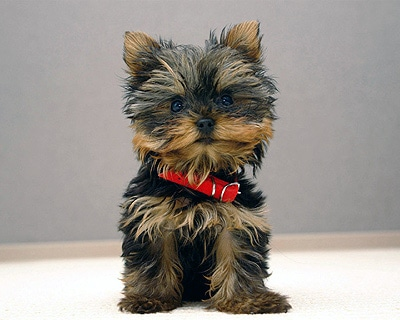 папилломатоз ротовой полости у собак