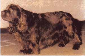 Суссекс-спаниель, фото фотография, породы собак