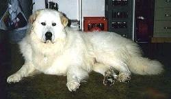 Пиренейская горная собака, фото, фотография
