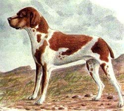 бельгийский короткошерстный пойнтер, рисунок картинка