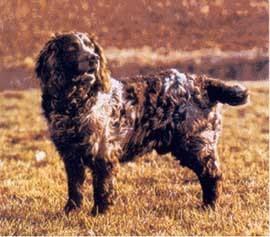 Немецкий вахтельхунд, немецкая перепелиная собака, фото, фотография