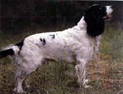 русский охотничий спаниель, фото, фотография