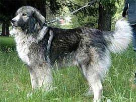 Румынская овчарка, овчарка румынская, фото породы собак фотография с http://www.agraria.org