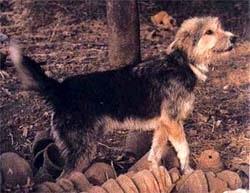 Армант, египетская овчарка, фото, фотография