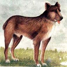 Лангедокская пастушья собака, рисунок картинка