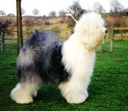 Бобтейл, староанглийская овчарка, фото, фотография