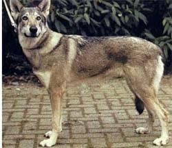 Саарлоос вульфхонд, саарлооская волчья собака, фото, фотография